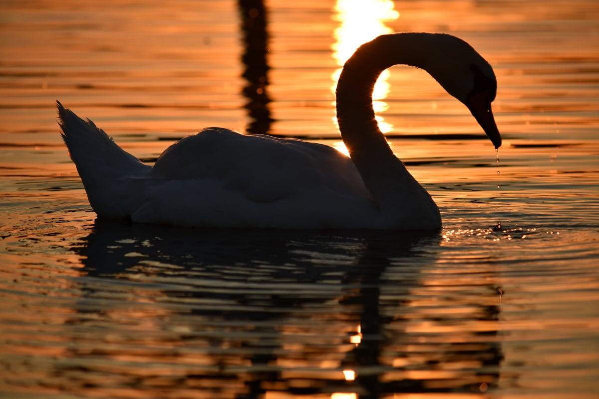 sombra, silueta, puesta de sol, cisne, gota de agua, pájaro, agua, amanecer, reflexión, Lago
