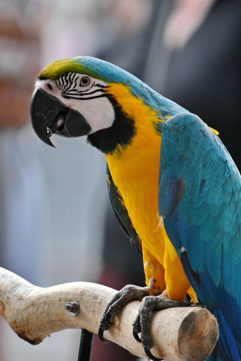 macaw, tropical, parrot, wildlife, wing, feather, beak, animal, bird, nature