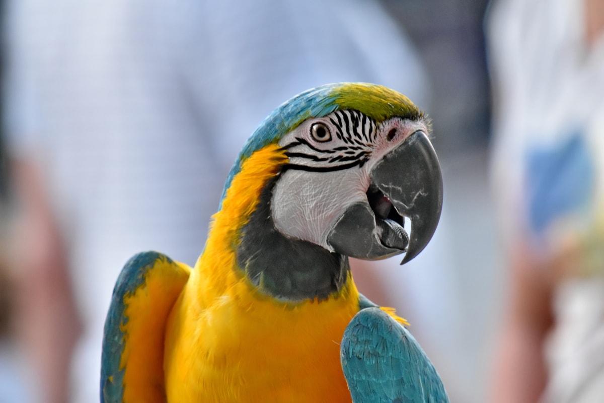 näbb, färgglada, öga, huvud, ara, papegoja, fjäder, vilda djur, tropisk, vinge