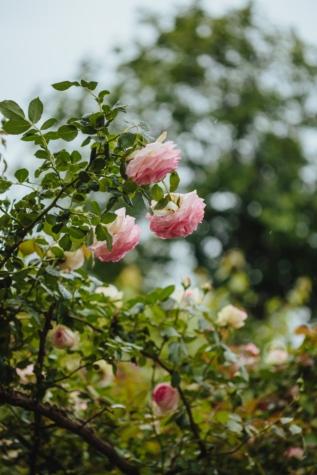 玫瑰, 灌木, 叶, 花, 植物, 性质, 树, 夏天, 上升, 植物区系