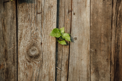 abandoned, fence, green leaves, ivy, old, picket fence, wood, rough, wooden, tree frog