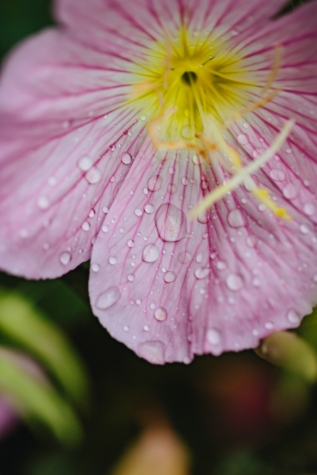 orvalho, jardim de flor, macro, rosado, gota de chuva, flora, verão, flor, flor, pétala