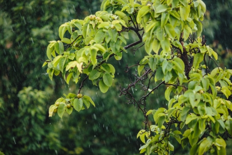 orchard, pears, rain, branch, leaves, plant, leaf, tree, fruit, summer
