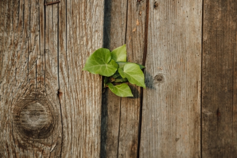 carpentry, fence, green leaves, hardwood, ivy, knot, old, herb, texture, wood