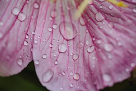 近距离, 露, 园艺, 宏, 雨, 雨滴, 上升, 花瓣, 花, 灌木