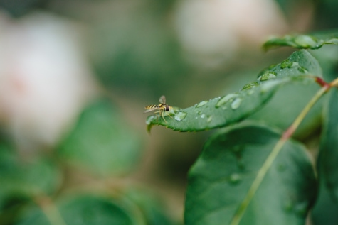 dew, green leaves, outdoor, rain, raindrop, wasp, arthropod, insect, leaf, plant