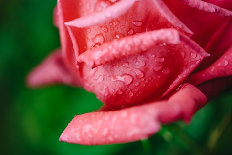dew, pinkish, rain, raindrop, rainy season, plant, petal, rose, garden, flower