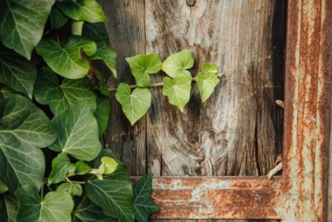 puusepäntyöt, Valurauta, likainen, lehtipuu, Silitysrauta, muratti, maaseudun, ruostest, vuosikerta, kasvi
