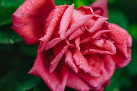 embun, kelembaban, mawar, basah, daun, naik, Taman, merah muda, tanaman, kelopak