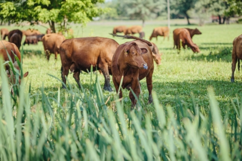 Rolnictwo, byk, Bull nosa, krowy, gruntów rolnych, zwierzęta gospodarskie, konie, zagroda, trawa, pole