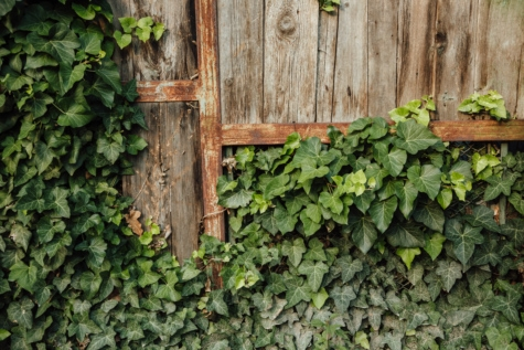 abandoned, carpentry, fence, handmade, ivy, rust, leaf, wall, wood, wooden