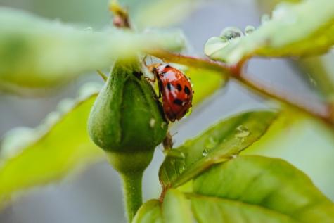 členovec, Beruška, závod, brouk, list, jaro, hmyz, zahrada, příroda, déšť