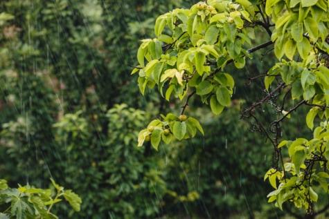 лоши метеорологични условия, клон, овощна градина, круша, круши, дъжд, дъждовна капка, вятър, листа, природата