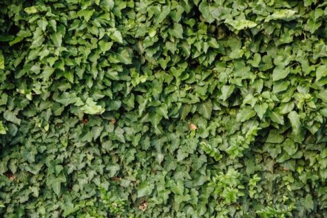 Грийн, зелени листа, бръшлян, текстура, листа, флора, растителна, градина, хеджиране, стена