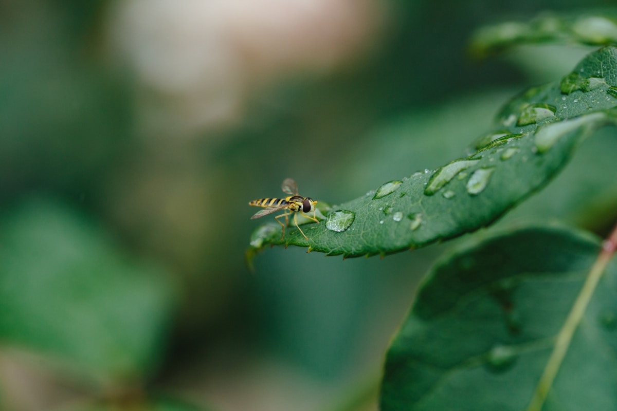Ekológia, hmyzu, čistota, dažďová kvapka, malé, osa, článkonožcov, bezstavovcov, krídlo, príroda
