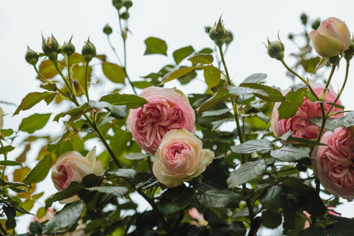 arrangement, shrub, bouquet, nature, rose, leaf, roses, petal, flower, summer