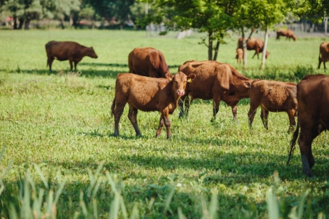 kalf, koe, begrazing, jonge, boerderij, veld, boerderij, platteland, gras, weide