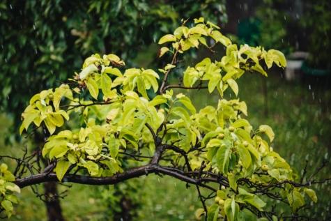 slecht weer, boomgaard, peren, regen, regendruppel, lentetijd, boom, blad, bos, Bladeren