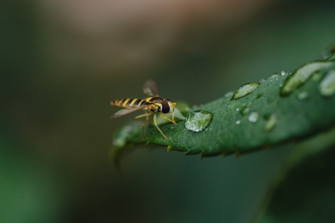 close-up, dew, green leaf, macro, raindrop, wasp, arthropod, bug, insect, invertebrate