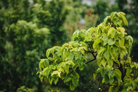 rain, rainy season, spring time, tree, trees, leaf, nature, plant, leaves, flora