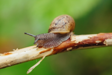 skin, macro, snail, twig, animal, shell, invertebrate, wildlife, nature, wild