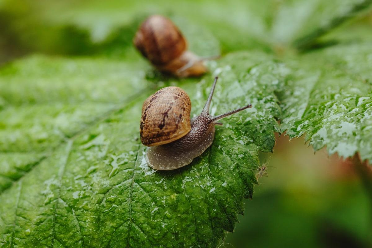 par, caracóis, caracol, invertebrado, escudo, molusco, gastrópodes, animal, marrom, jardim