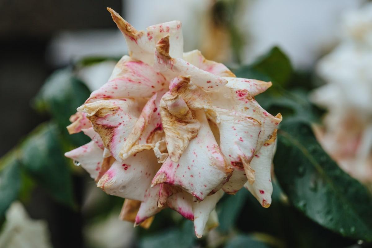 dry, petals, rose, food, nature, produce, flower, leaf, summer, tropical