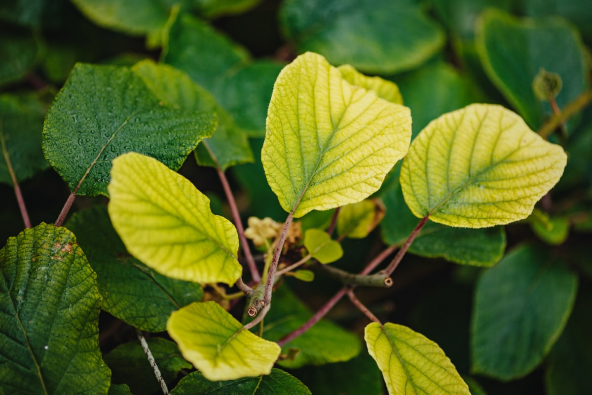 green leaf, greenery, greenish yellow, twig, yellow leaves, leaf, tree, forest, plant, foliage