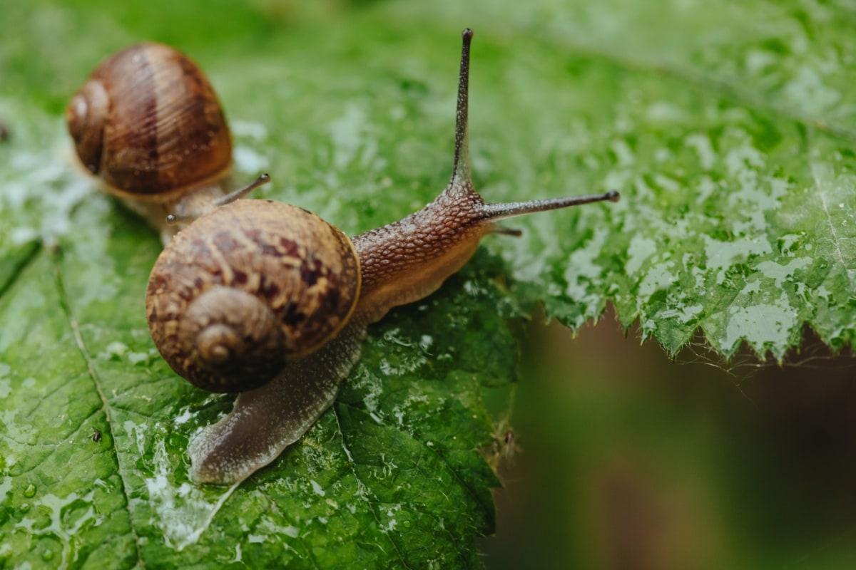 regnperioden, sidovy, sniglar, våt, naturen, trädgård, snigel, djur, ryggradslösa djur, mollusk