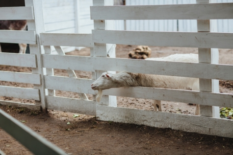 farmhouse, fence, goat, ranch, rural, village, white, farm, barn, livestock
