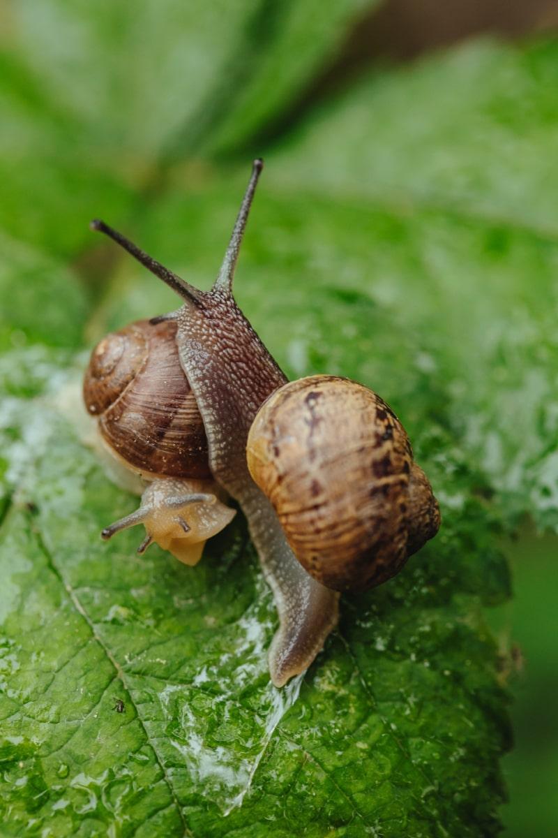 zblízka, hlava, dvojice, sliz, hlemýždi, hlemýžď, skořápka, gastropod, zvíře, zahrada