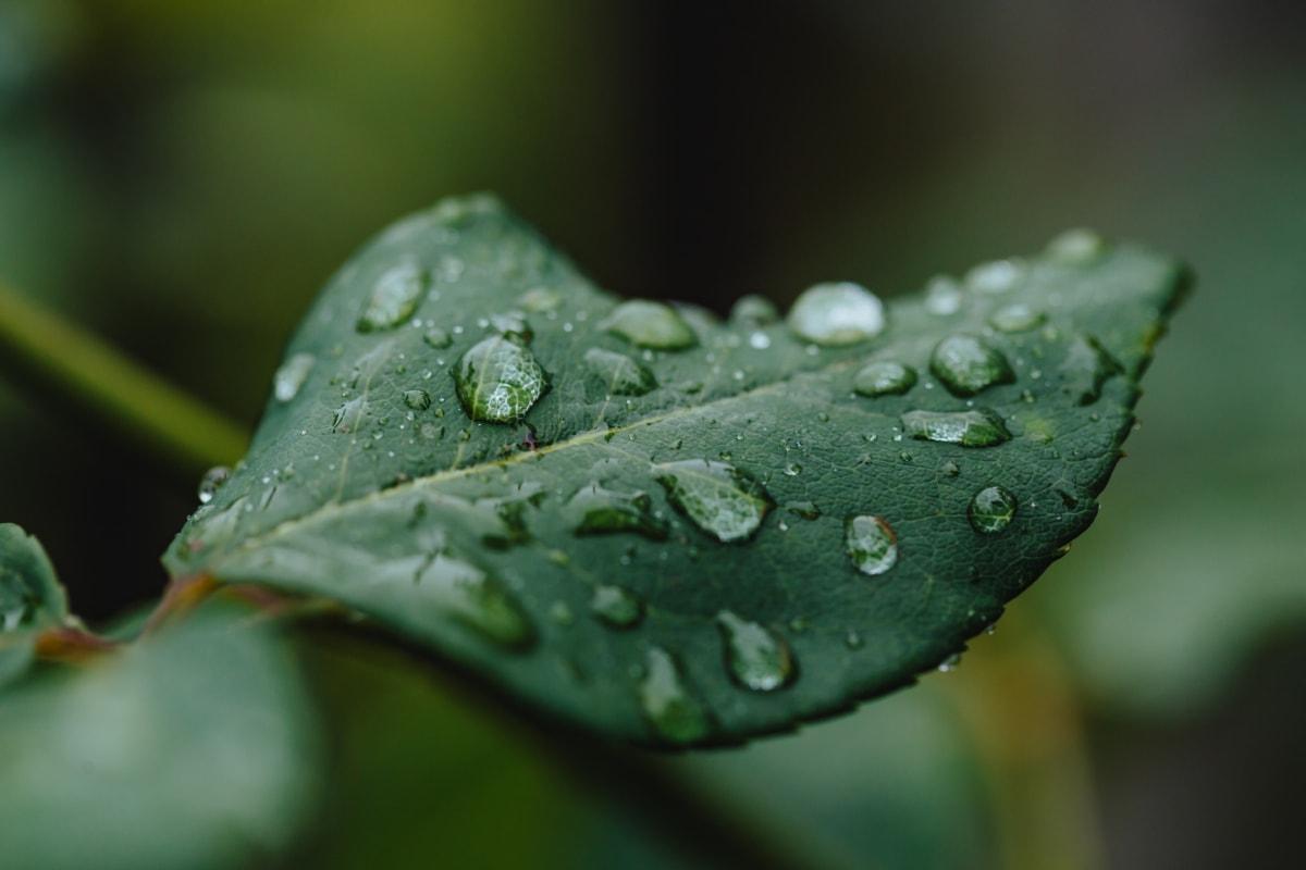 rosy, zelené listy, vlhkosť, dážď, mokré, krídlo, rastlín, voda, tráva, zväčšenie