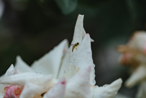 wasp, shrub, flower, nature, outdoors, blur, leaf, summer, rain, purity
