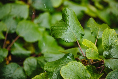 green leaf, green leaves, rain, rainy season, wet, leaf, herb, leaves, nature, food