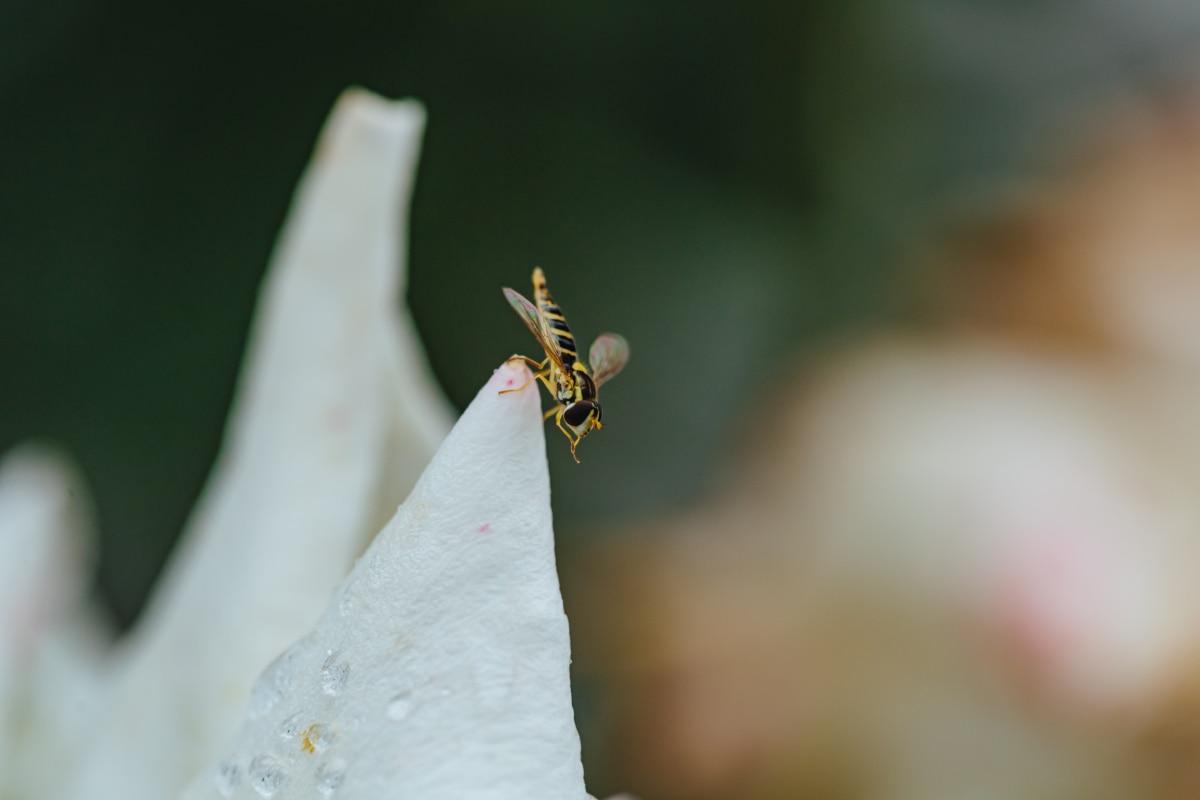insect, metamorphosis, moisture, rain, raindrop, wasp, flower, arthropod, outdoors, nature
