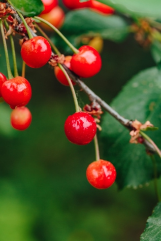 cherries, berry, plant, fruit, cherry, sweet, shrub, food, leaf, vitamin