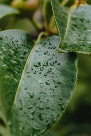 green leaves, greenish yellow, purity, rain, herb, dew, plant, wet, drop, flora