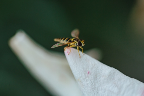 insect, legs, wasp, wings, invertebrate, arthropod, nature, animal, wildlife, outdoors