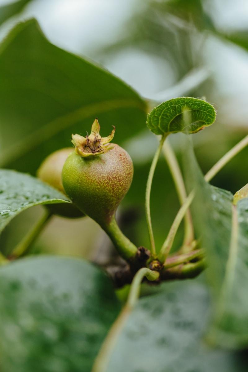 hedelmätarha, orgaaninen, päärynä, raakoja, pystysuora, hedelmät, ruoka, puu, lehti, luonto
