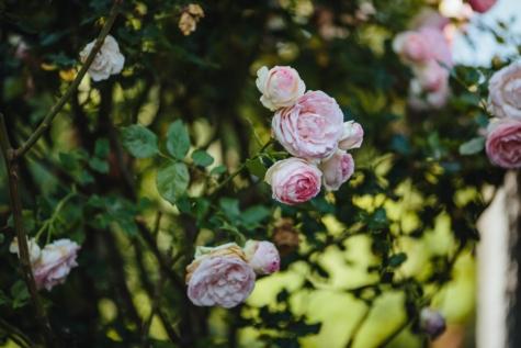 kert, Kertészet, levél, cserje, Rózsa, természet, virág, növény, kivirul, tavaszi