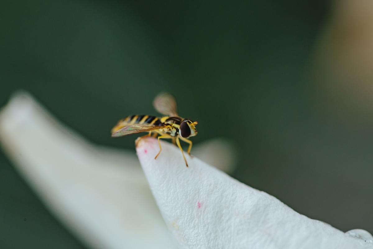 details, insect, macro, wasp, white flower, wings, arthropod, invertebrate, nature, animal