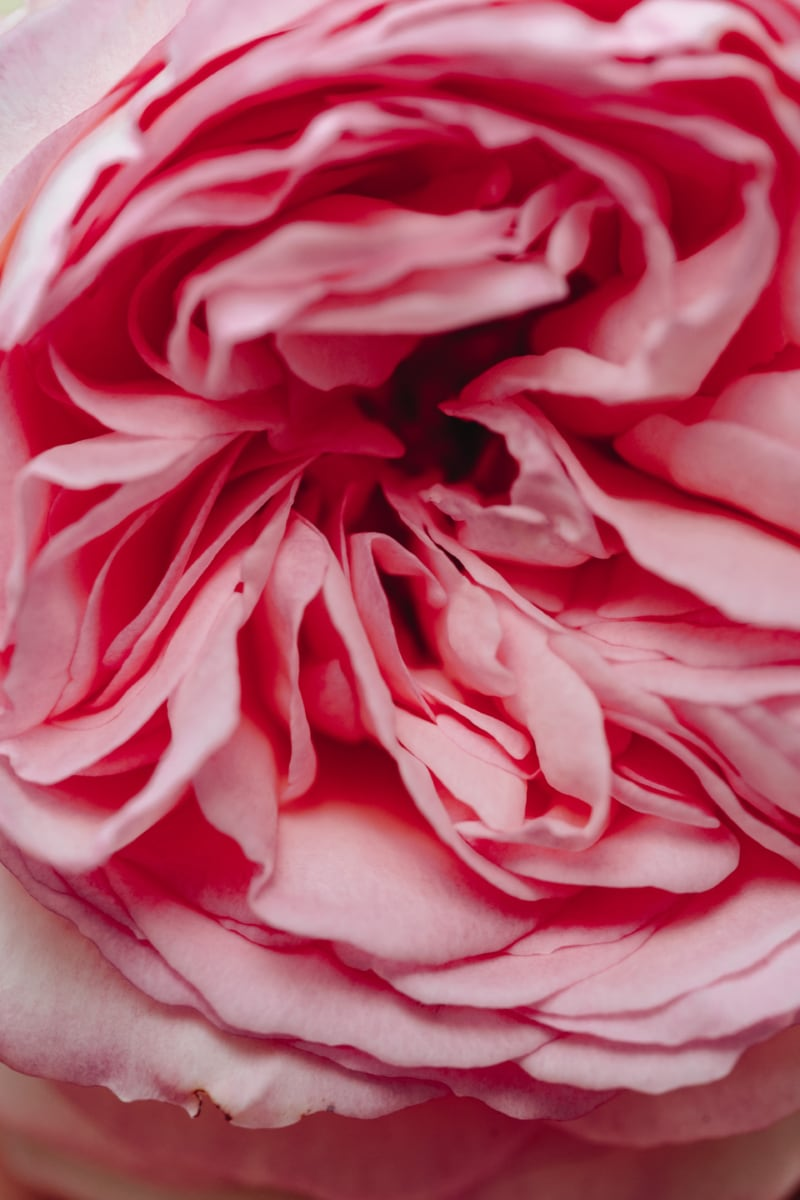beautiful flowers, close-up, macro, petals, roses, romance, petal, plant, camellia, nature