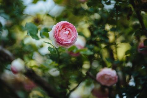 模糊, 重点, 花瓣, 灌木, 植物, 爱, 玫瑰, 上升, 束, 装饰