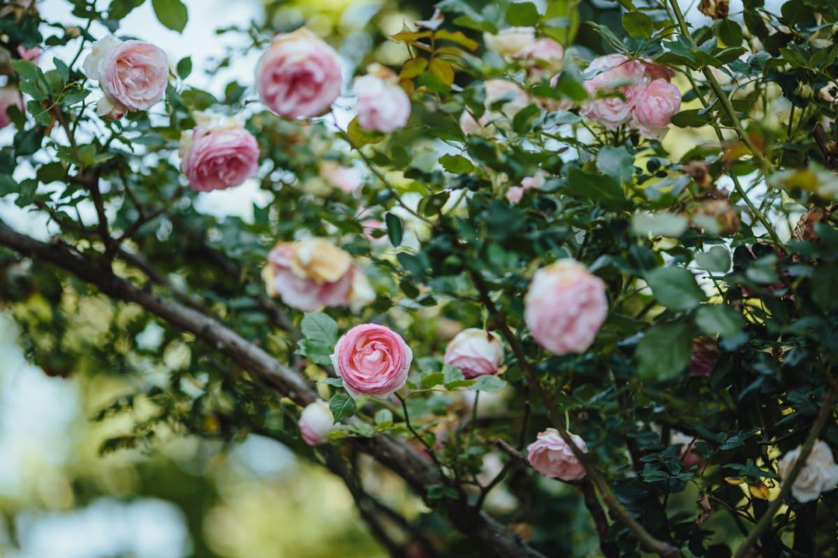 nature, rose, leaf, flower, garden, flora, blooming, tree, branch, color