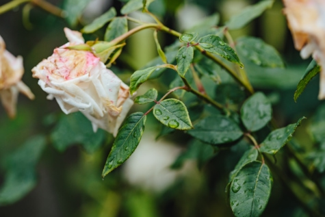 rain, raindrop, roses, flower, plant, shrub, tree, leaf, rose, nature