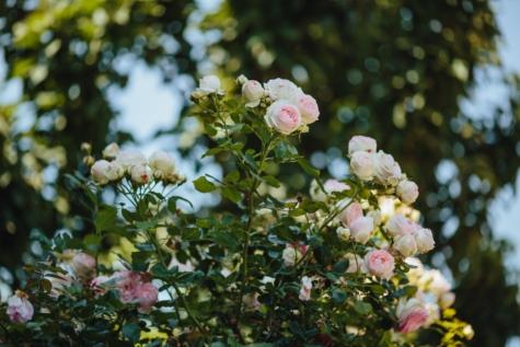 支店, 工場, ローズ, 花, 自然, 低木, ツリー, 花, 春, 葉
