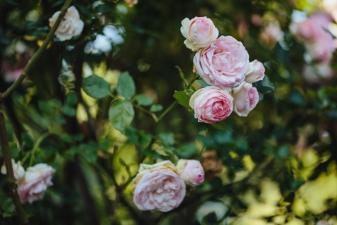 focus, rose, shrub, plant, spring, flower, blossom, flowers, bloom, garden