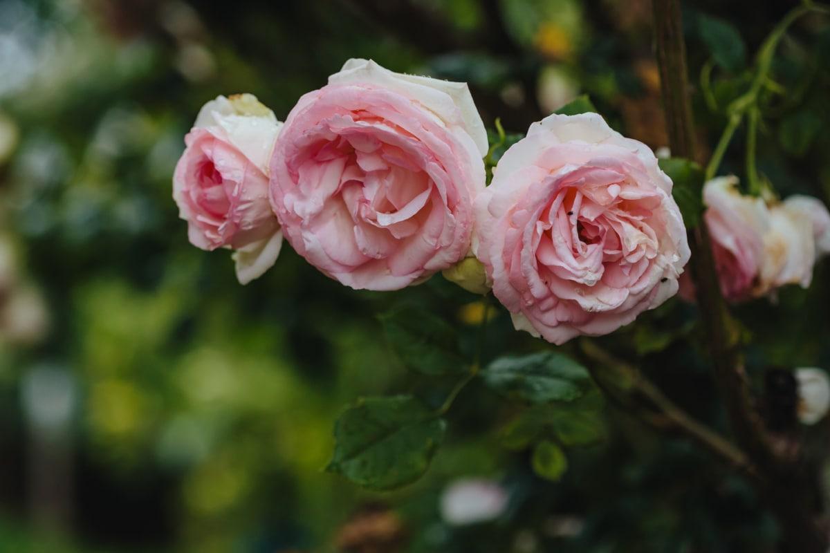 růžovo, růže, tři, okvětní lístek, list, růže, keř, příroda, závod, růžová