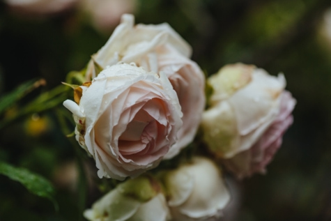 elegant, roses, white flower, flower, rose, nature, shrub, bouquet, leaf, blur