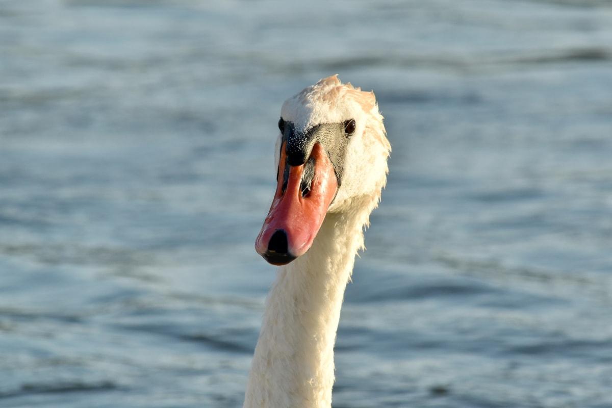 akvatisk fugl, svane, vand, fjer, næb, natur, vandfugle, fugl, svømning, dyreliv
